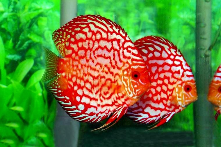 Ragam Ikan Hias Yang Bagus Dipelihara Di Akuarium - Aneka ...