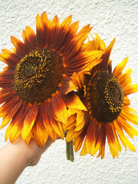 allotment sunflowers
