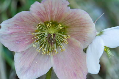 Different flower colors of Helleborus viridis, Green Hellebore.