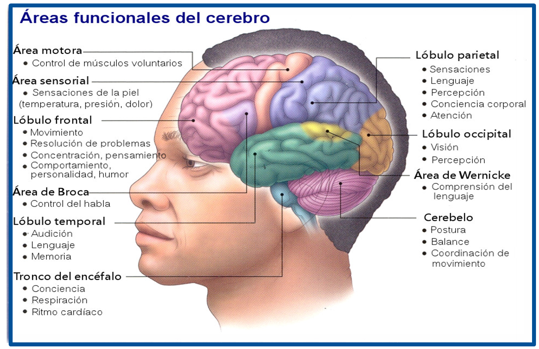 La relaci n del cerebro con el aprendizaje y la conducta for Areas de la cocina y sus funciones