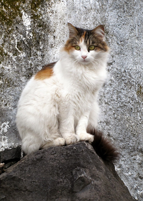 a beautiful cat in Funchal city