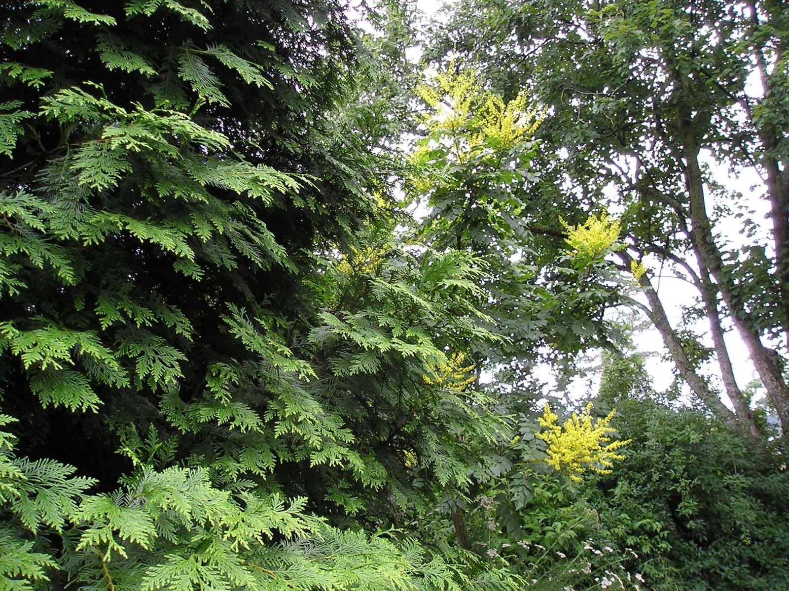 Carol S Garden: Carol's Greenville NC Garden: Small Trees In Bloom
