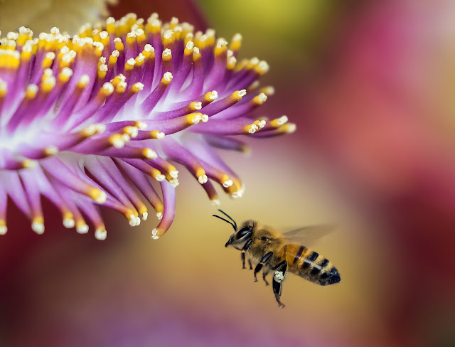 Could an Australian bee solve the world's plastic crisis?