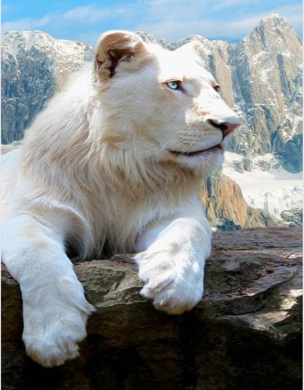 gambar closeup-singa-putih-amerika