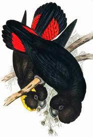 Cacatúa lustrosa: Calyptorhynchus lathami