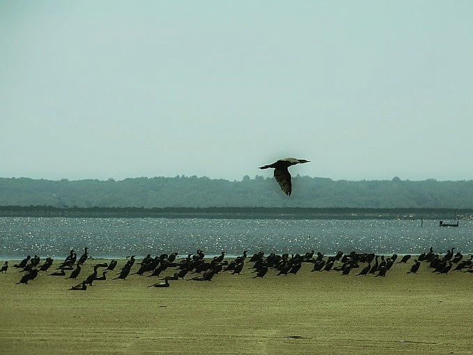 Biguás na Barra da Lagoa do Peixe