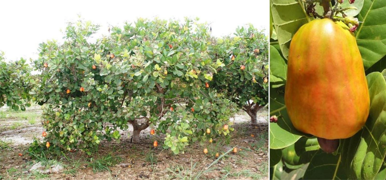 Caju (Anacardium occidentale)