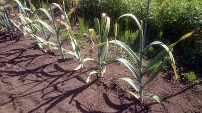 ジャンボニンニクもうすぐ収穫