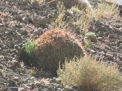 plants, Atacama Desert