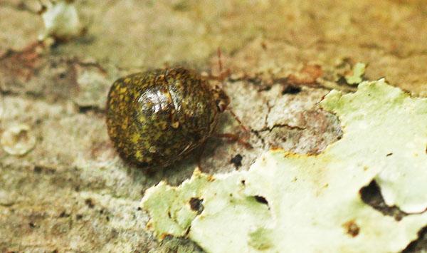 MObugs: Kudzu Bug