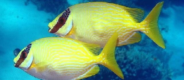 Jenis Ikan Baronang (Siganus Sp.) dan Gambarnya Lengkap