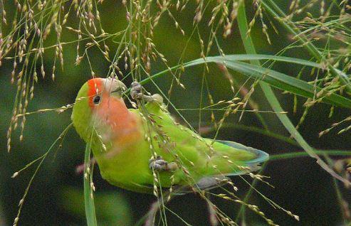 Makanan Anakan Lovebird