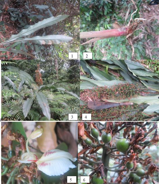 Alpinia polyantha