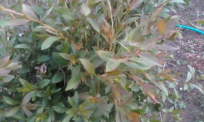 minyak eucalyptus beli dimana, eucalyptus minyak kayu putih, beda minyak kayu putih dan ekaliptus, manfaat eucalyptus untuk kaki, kandungan minyak eucalyptus, ciri-ciri pohon eucalyptus, perbedaan eucalyptus dan cajuput, minyak ekaliptus kayu putih,