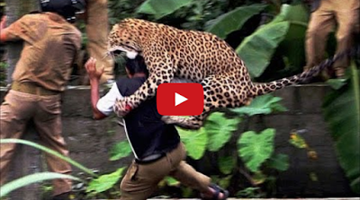 OMG!! Leopard attack Human in India Compilation 2015( Video Inside)