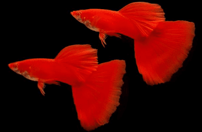 Ikan Guppy Merah (Super Red)