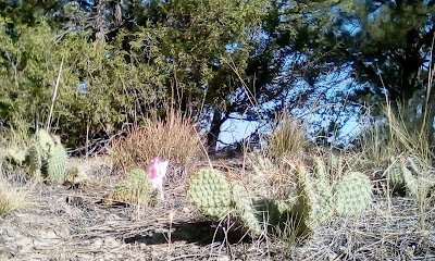 cacti, sage, coniferous, and dry, dry earth