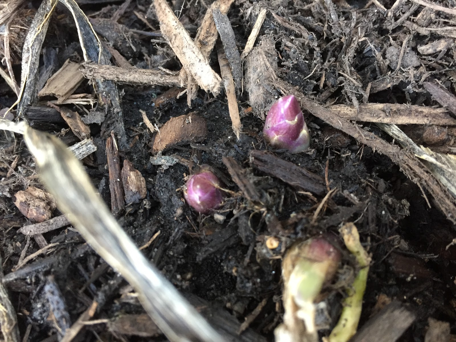 hosta eyes first emerge