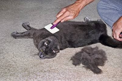 pet shops  Queda de cabelo em gatos