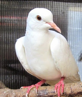 burung perkutut putih, perkutut putih