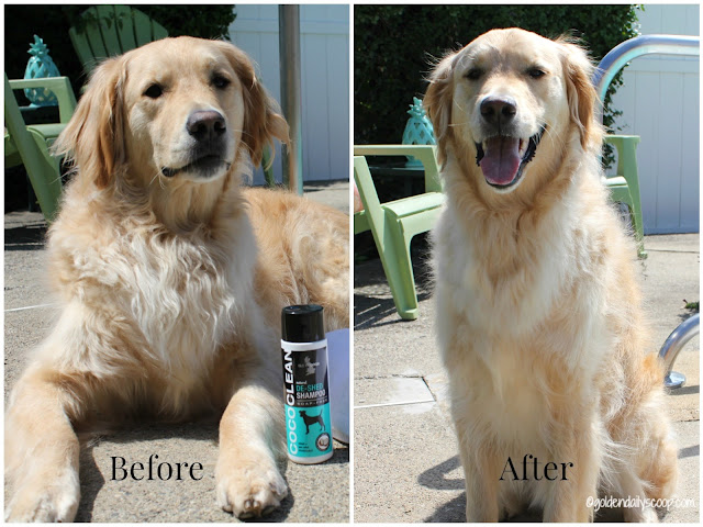 before and after of golden retriever grooming