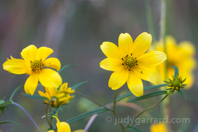 Yellow Daisies at Arabia Mountain
