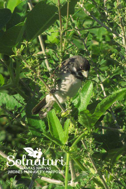 Sporophila caerulescens Corbatita común