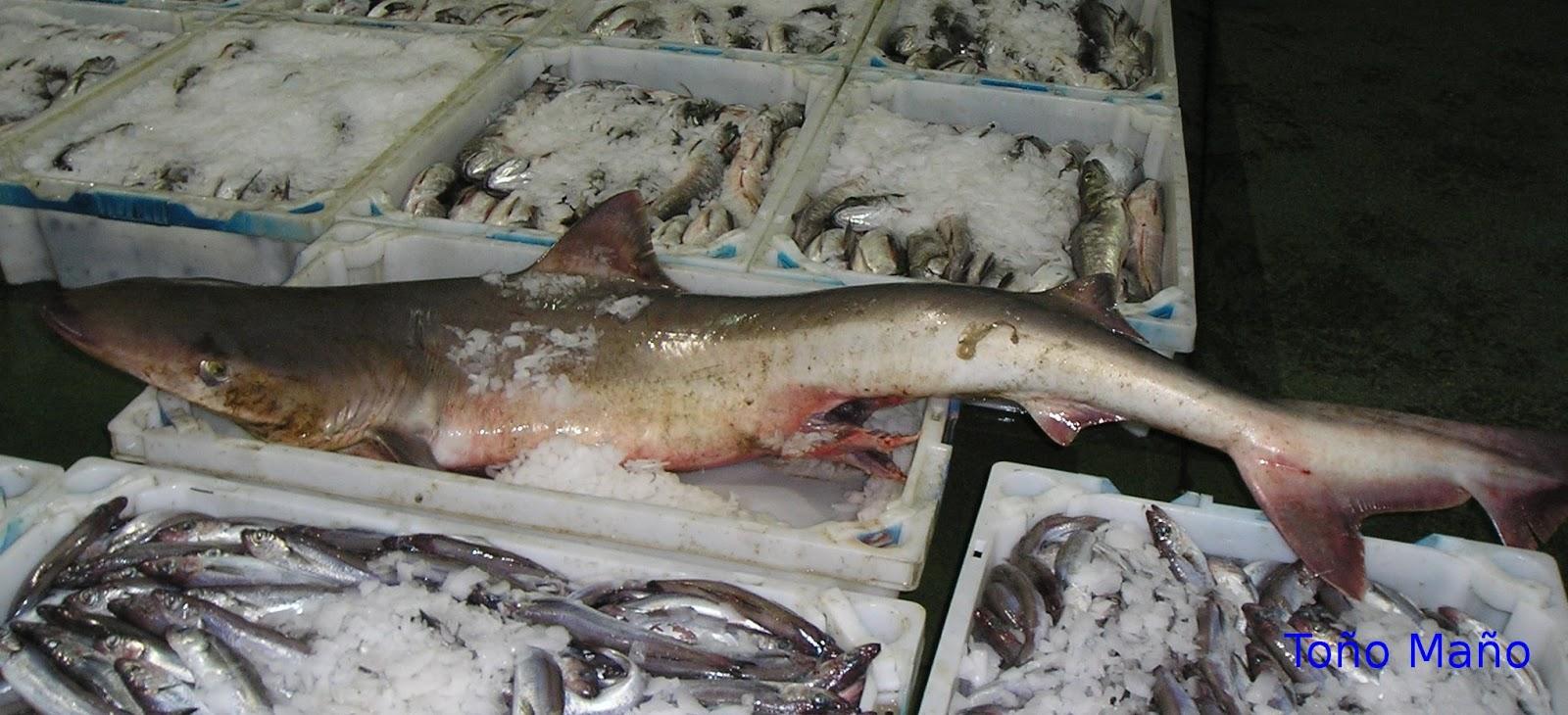 Tiburones en Galicia: Cazón (Galeorhinus galeus)