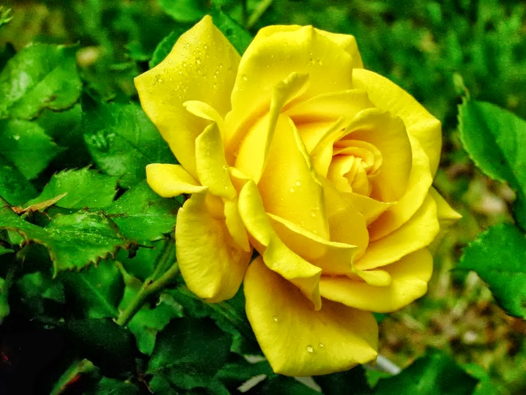 All 4u HD Wallpaper Free Download : Yellow Rose Wallpapers