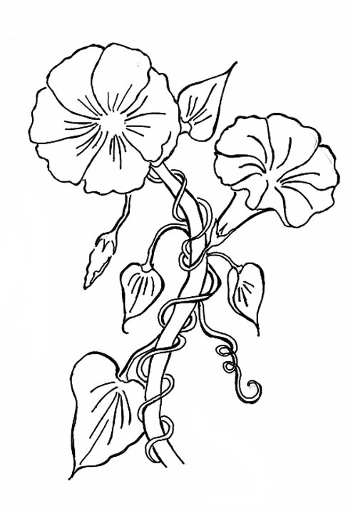 go back gt gallery for gt morning glory flower drawings