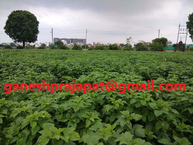 Stability in current Guar seed and Guar gum prices due to forecast of poor rainfall., Guar, guar gum, guar gum and slick water, Guar gum price, Guar gum export,  guar gum news, NCDEX guar gum price, Guar gum report, guar seed production, guar gum consultant, guar seed export, guar gum export from india 2017-2018 , guar, guar gum, guar gum news, Guar gum export-2017-2018, Guar gum export-from India during 2017-2018, Guar gum export data -2017-2018, Guar gum rate , NCDEX guar gum price,  guar gum export-2017, guar gum export-2018, guar gum demand-2017, guar gum demand-2018, guar gum production, guar gum cultivation, guar gum cultivation consultancy, Guar, guar gum, guar price, guar gum price, guar demand, guar gum demand guar seed production, guar seed stock, guar seed consumption, guar gum cultivation, guar gum cultivation in india, Guar gum farming, guar gum export from india, Fundamentally Guar seed and guar gum are very strong , Guar, guar gum, guar price, guar gum price, guar demand, guar gum demand, guar seed production, guar seed stock, guar seed consumption, guar gum cultivation, guar gum cultivation in india, Guar gum farming, guar gum export from india , guar seed export, guar gum export, guar gum farming, guar gum cultivation consultancy, today guar price, today guar gum price, ग्वार, ग्वार गम, ग्वार मांग, ग्वार गम निर्यात 2017-2018, ग्वार गम निर्यात -2018, ग्वार उत्पादन, ग्वार कीमत, ग्वार गम मांग,
