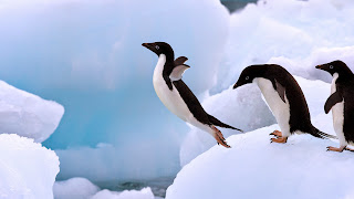 Adelie Penguins