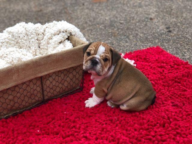 English Puppies   AKC English Bulldogs For Adoptions
