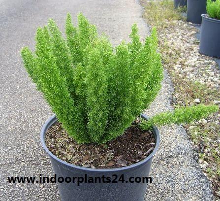 Sprengeri' Liliaceae ASPARAGUS FERN indoor plant image