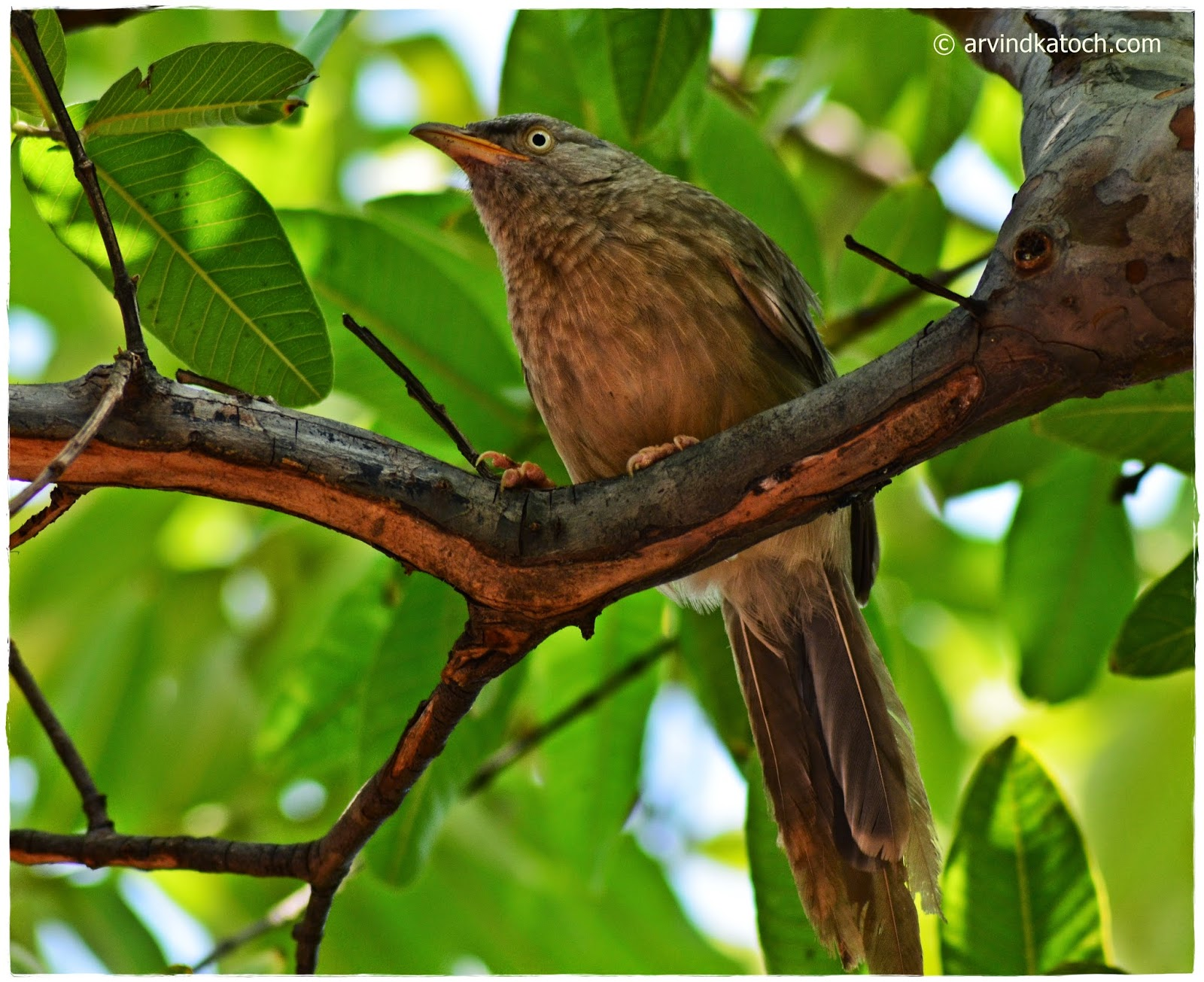 Jungle Babbler, Seven Brother, Indian bird, Grey color bird,