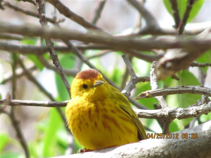 The Yellow Warbler Below Is A Bird I Saw While In Curacao There Definitely Difference Between Compared To