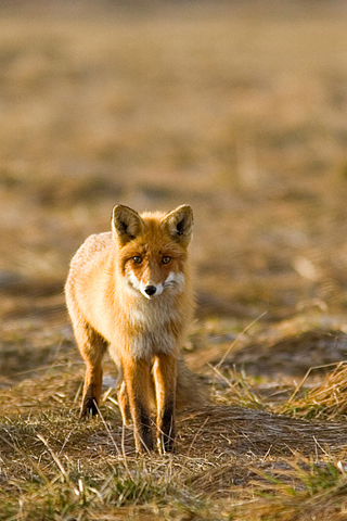 Fox Animal Wallpaper Iphonezone Wild Animal Fox Wallpapers For Iphone