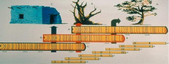 Crossdating dendrochronology