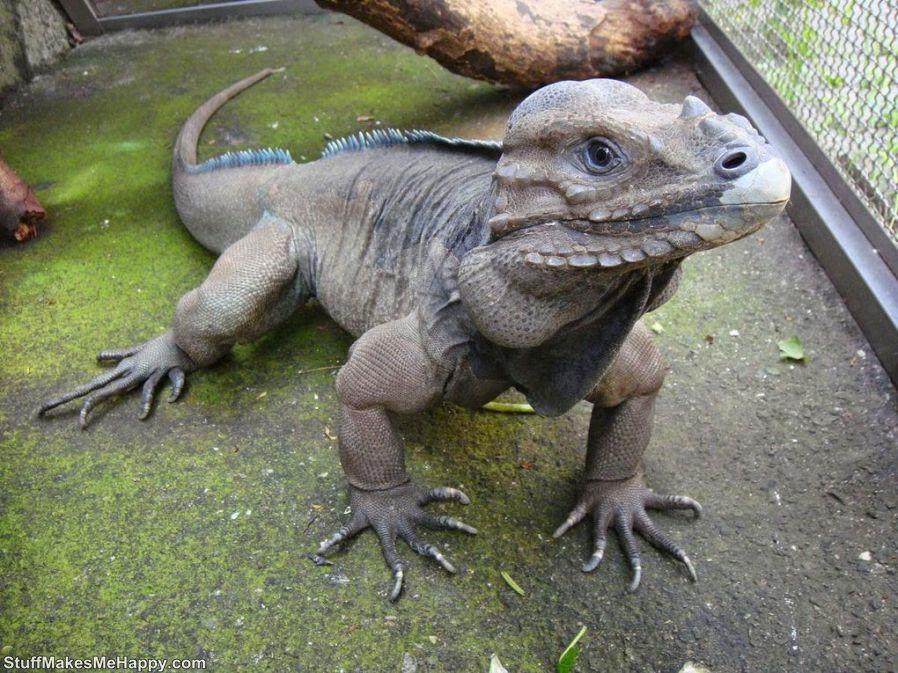 3. The cute iguana
