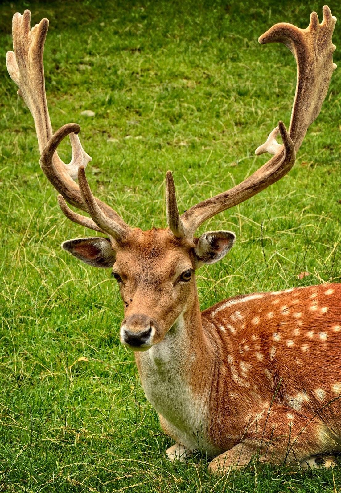 Huge antlers of a fallow deer.