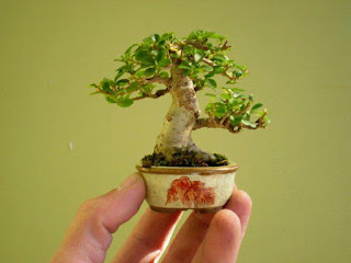bonsai mini3