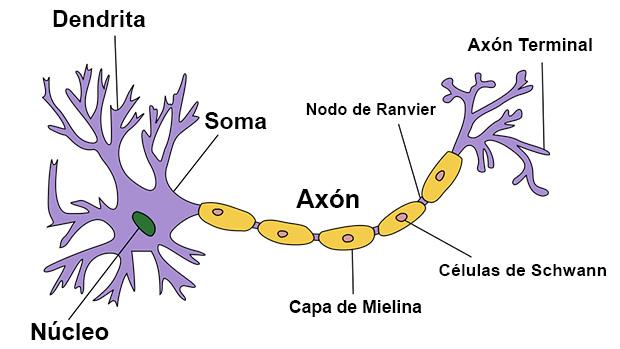 La neurona y sus partes: Axón, Núcleo, Soma, Dentrita