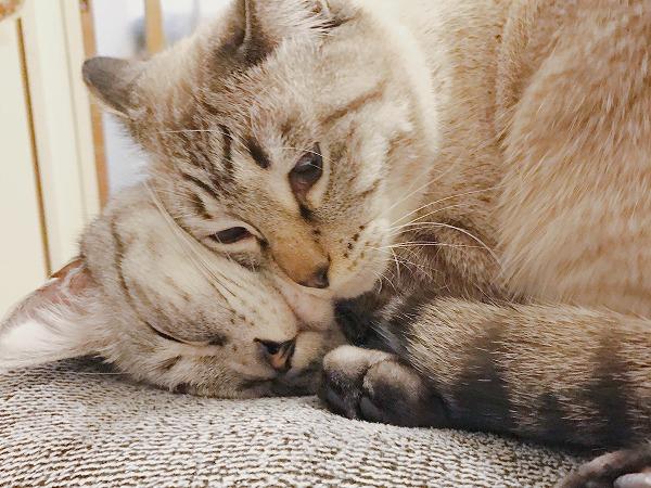 寝てるサバトラ猫に頬ずりするシャムトラ猫