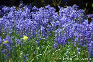 Bluebells (c) FreeFoto.com