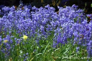 Bluebells (c) FreeFoto.com