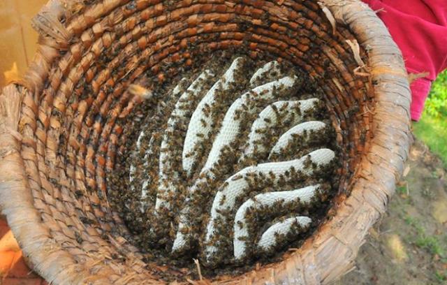 Γιγάντιες Σφήκες επιτίθενται στα μελίσσια: Φτιάχνουμε παγίδες