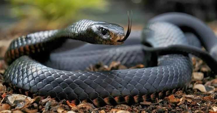 Kara Mamba dünyanın ikinci en uzun ve zehirli yılanıdır. Aynı zamanda oldukça saldırgandır.