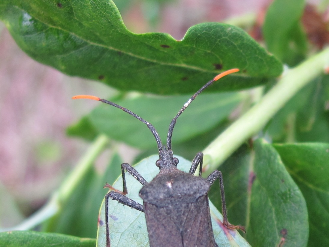 Blue Jay Barrens: Leaf Footed Bug
