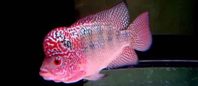 Cara Memilih Anak Ikan Louhan Berkualitas