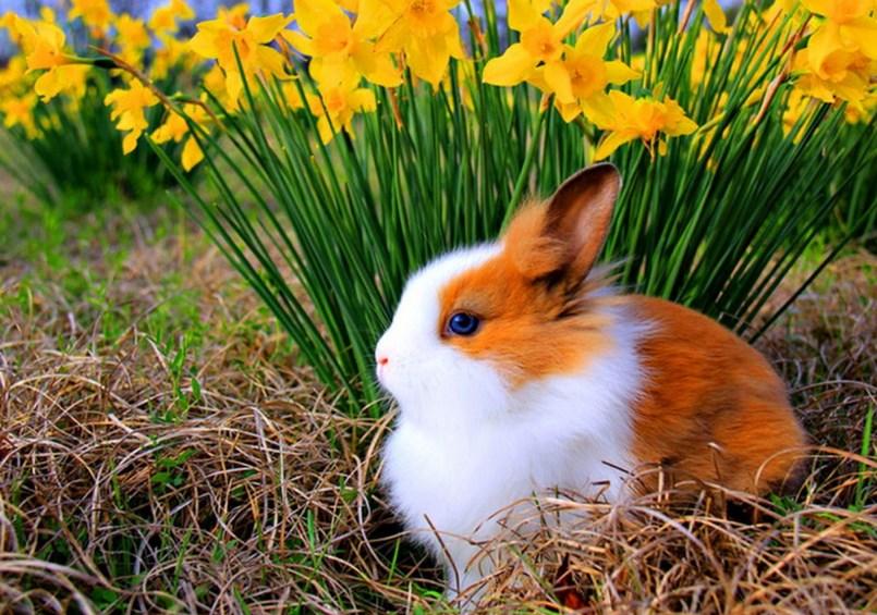 Gambar Lucu Kelinci australia
